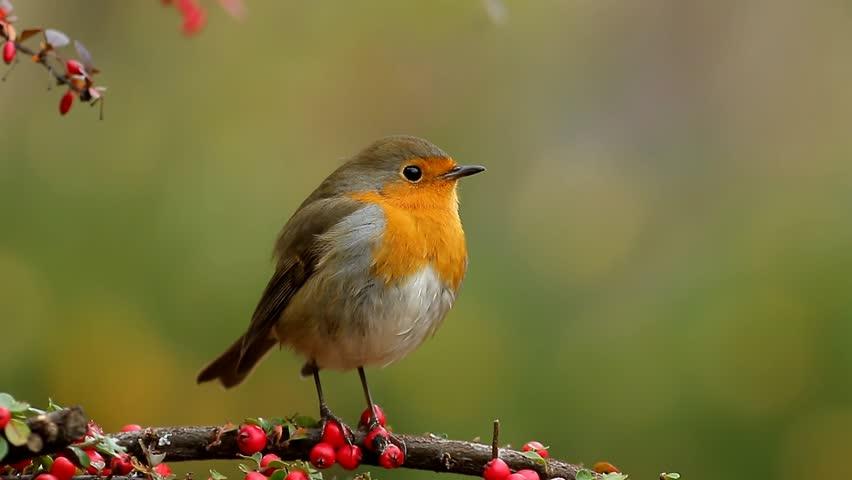 European robin singing   Shutterstock HD Video #1019782297