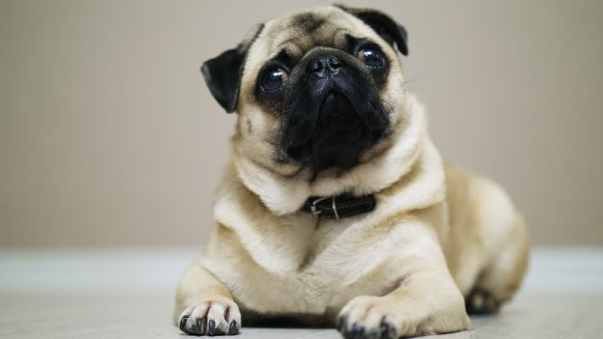 Cute sad pug dog, pug lying on the floor, looking at camera. | Shutterstock HD Video #1019816068