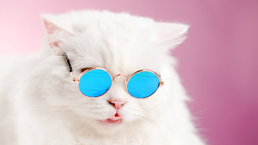 Close portrait of white furry cat in fashion sunglasses. Studio footage. Luxurious domestic kitty in glasses poses on pink background wall. 4k | Shutterstock HD Video #1019868493