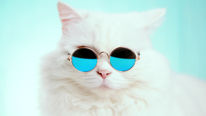 Portrait of highland straight fluffy cat with long hair and round sunglasses. Fashion, style, cool animal concept. Studio footage. White pussycat on blue background. 4k | Shutterstock HD Video #1019868502