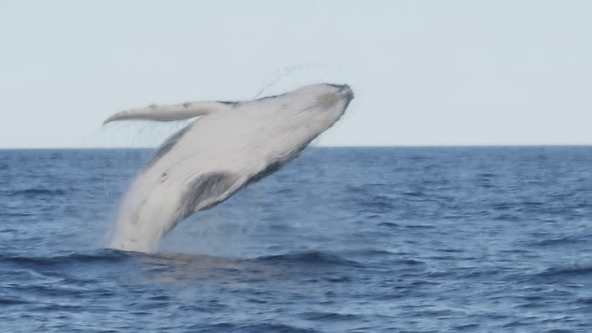 180p slow motion of a humpback whale getting airborne during a breach at merimbula in new south wales, australia   Shutterstock HD Video #1019987866
