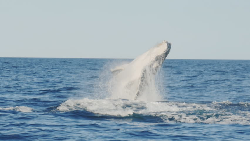 17% slow motion of a young humpback whale emerging from underwater and breaching at merimbula in new south wales, australia | Shutterstock HD Video #1019987878