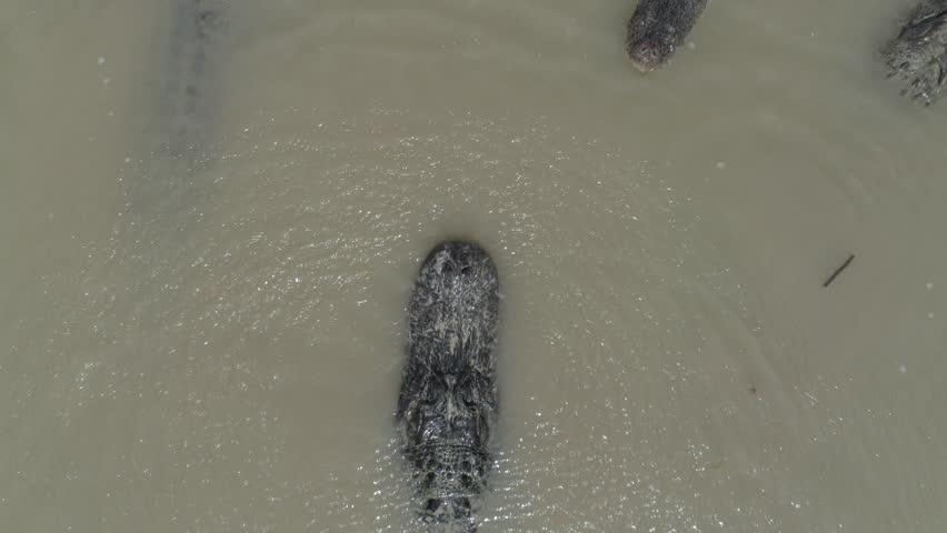 Alligators swim drone close hover | Shutterstock HD Video #1020006532