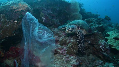Hawksbill Turtle with pastic bag