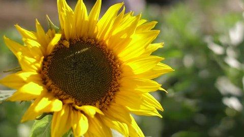 sunflower on gree field