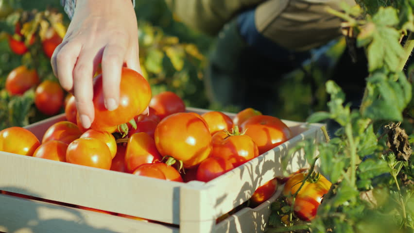 Hands worker put a tomato in a box. Harvesting in the field, organic products