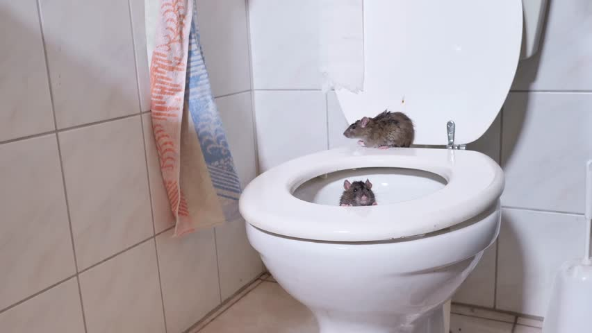 wild norway rats is coming out of the toilet and walk on the toilet seat, some scenes