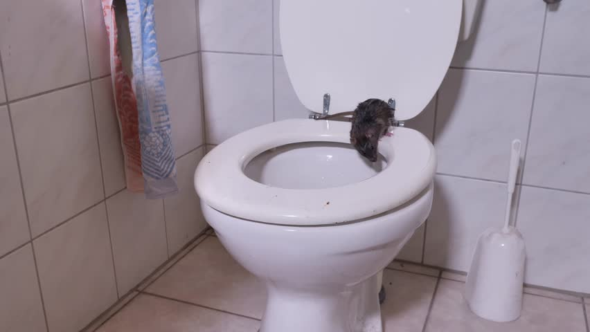 A wild norway rat is jumping into a toilet and disapear, a number of scenes