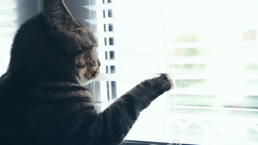 Cat peek through blinds with paw in slow motion HD. Side shot of cute British cat head in focus while on window shelf trying to look outside.   Shutterstock HD Video #1020308005