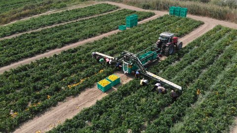 Ciro' marina,Italy, 20 August 2018: Drone aerial view of Yellow peppers Harvesting- Industrial harvesting