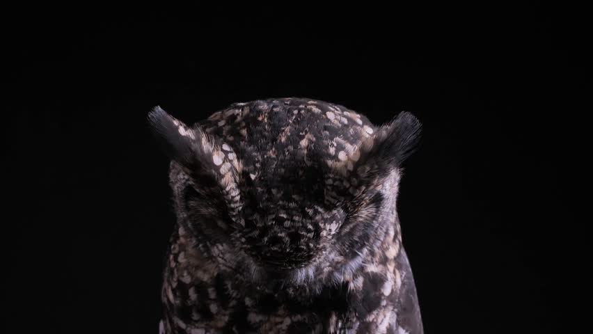 spotted eagle owl as a studio shot with black background, owl looks to floor and suddenly into the camera, after that owl looks around #1020404464