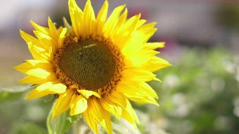 sunflower on green field slow motion