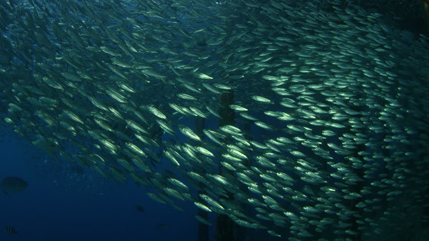 Large shoal of fish, Blacktip sardinella (Sardinella melanura) ripples and sways under a jetty, Raja Ampat, Indonesia | Shutterstock HD Video #1020551101