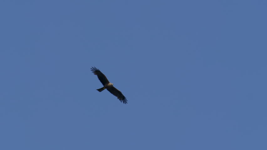 A buzzard flying in a blu sky | Shutterstock HD Video #1020566476