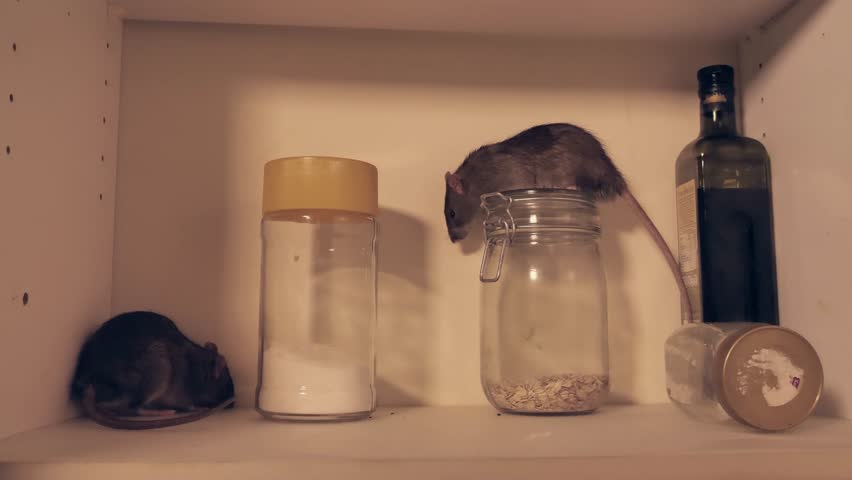 Two wild norway rats in the cupboard of a kitchen at night, two takes