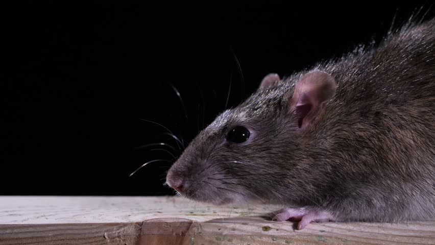 A norway rat close up with black background in studio