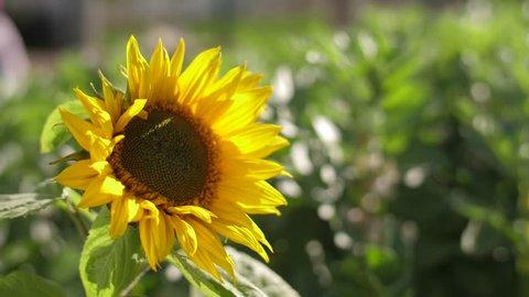 sunflower on gree field slow motion 4k