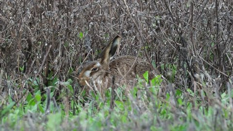 A European hare (Lepus europaeus) or brown hare hiding in long grass in a field