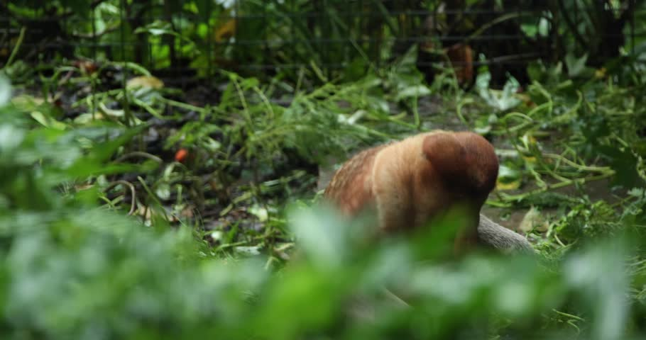 A rare proboscis monkey in borneo  | Shutterstock HD Video #1020616087