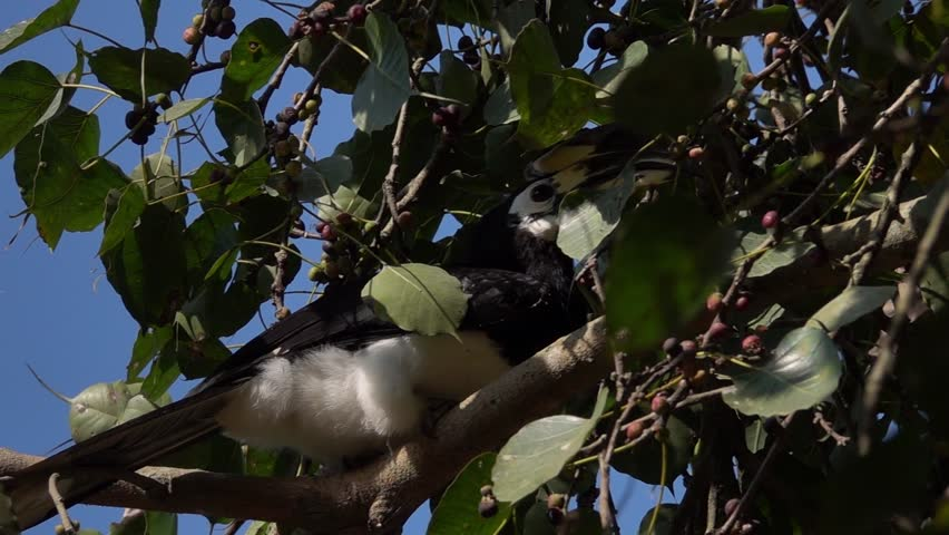 Oriental Pied Hornbill Bird Sitting on Tree Brunch (Anthracoceros Albirostris) | Shutterstock HD Video #1020763579