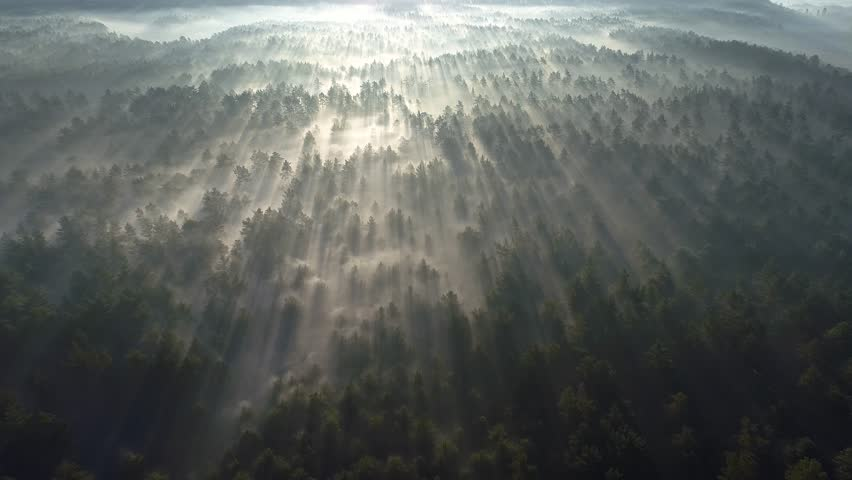 Sunrise in the misty forest. Marvelous view of flying over pine forest in the morning. There is magical fog all the way to the horizon. Aerial shot, 4K #1020817987