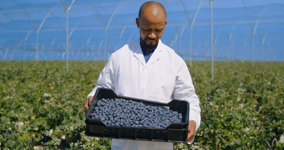 Portrait of a mixed race man holding blueberries in crate on a sunny day in greenhouse. | Shutterstock HD Video #1020841801