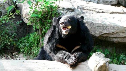 Asiatic black bear enjoy eating in nature