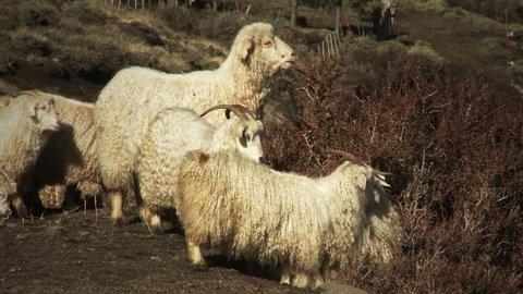 Sheep eating the Bush in Patagonia, Argentina.