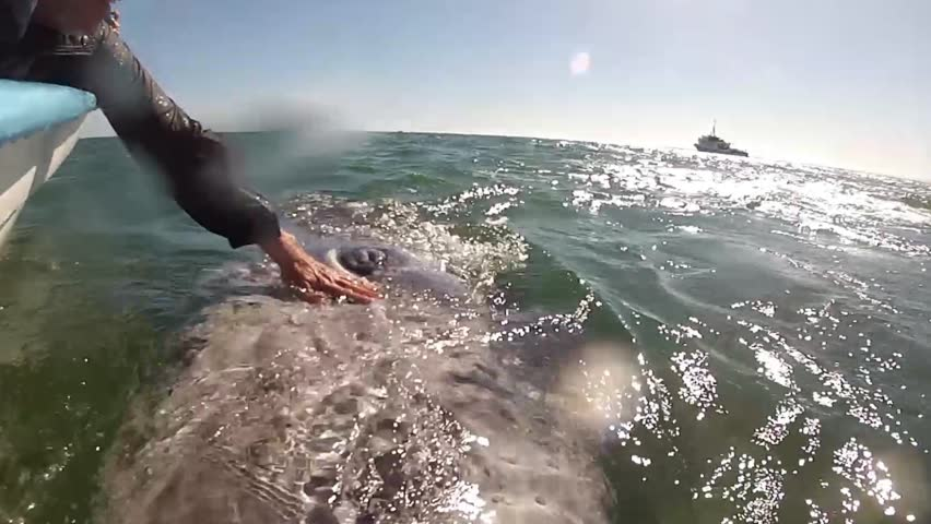 Baby grey whale hug in baja california, mexico   Shutterstock HD Video #1020908128