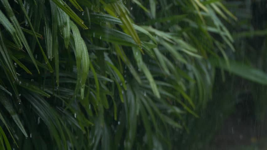 Close up detail of raindrops falling down on green leaf during heavy summer monsoon rainfall. Water Drops washing tree foliage. Rain pouring on green leaves in garden in slow motion