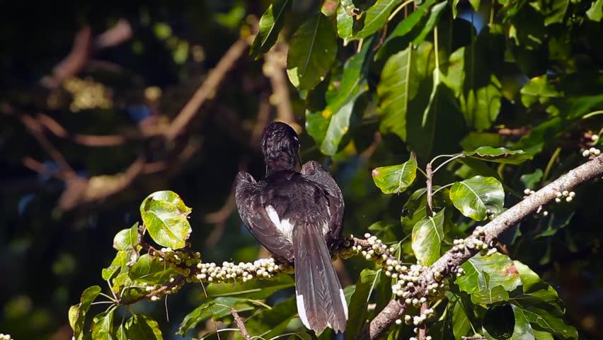 Oriental pied hornbill in Koh Tarutao national park, Thailand -  specie Anthracoceros albirostris family of Bucerotidae  #1020949333