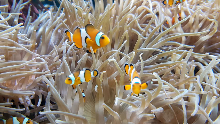 Many Clownfish And Sea Anemone Partnership, Close Up View - 4K Resolution   Shutterstock HD Video #1021038010