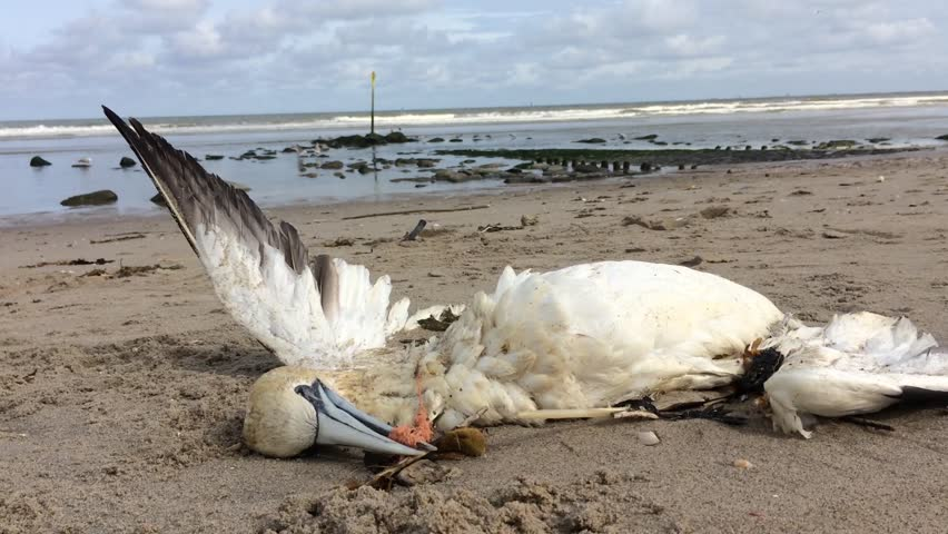 Dead northern gannet trapped in plastic fishing net washed ashore on Kijkduin beach The Hague, the Netherlands   Shutterstock HD Video #1021065238