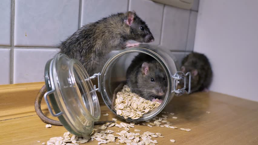 Norway rats in a kitchen eating food, sniffing und running, several szenes, with audio