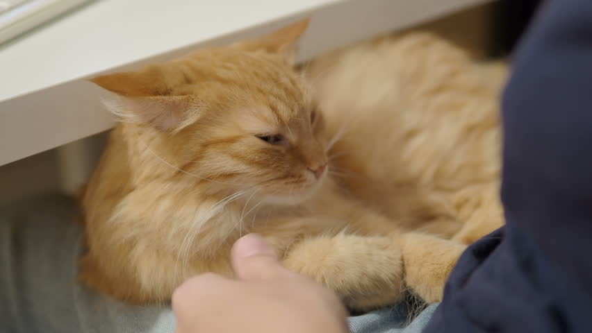 Cute ginger cat sleeping on woman's knees. Woman strokes fluffy pet. Cozy home. | Shutterstock HD Video #1021257715