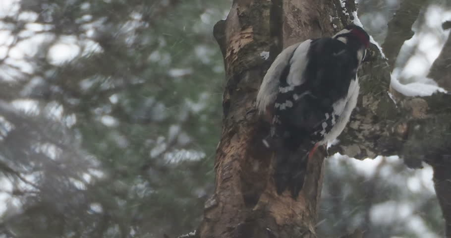 Great spotted woodpecker, Dendrocopos major, knocks on the bark of a tree, extracting edable insects. Bird in winter forest. | Shutterstock HD Video #1021257778