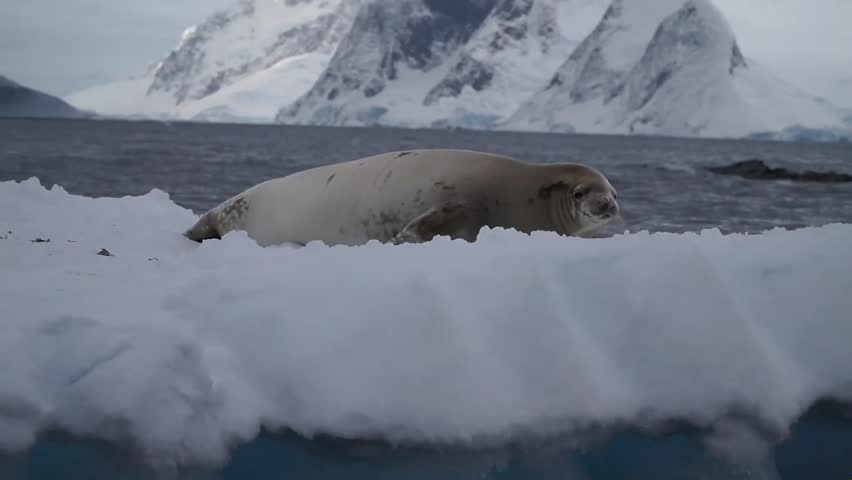 Antarctic fur seal on an ice shelf in the cold water of Antartica.