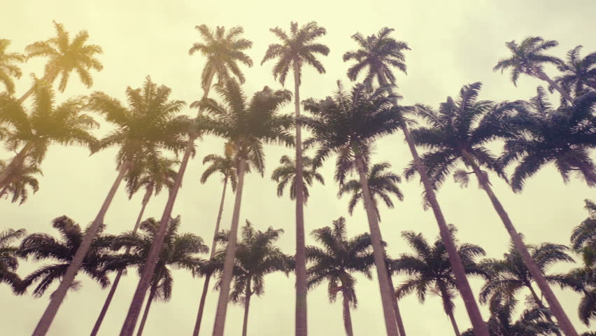 Royal palms, symbol of Rio de Janeiro, Brazil. Low angle shot | Shutterstock HD Video #1021424905