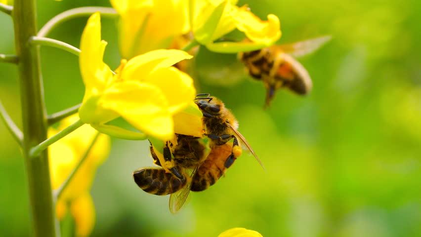 Slow motion of honeybee busy in rape seed flower in spring field   Shutterstock HD Video #1021437067