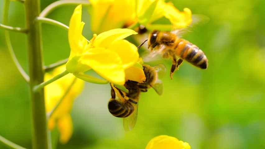 Slow motion of honeybee busy in rape seed flower in spring field | Shutterstock HD Video #1021437289