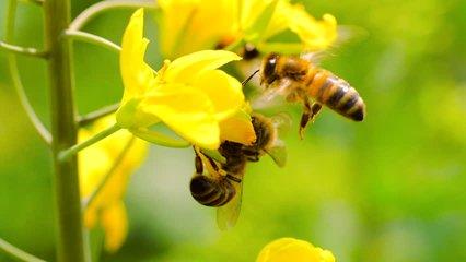 Slow motion of honeybee busy in rape seed flower in spring field