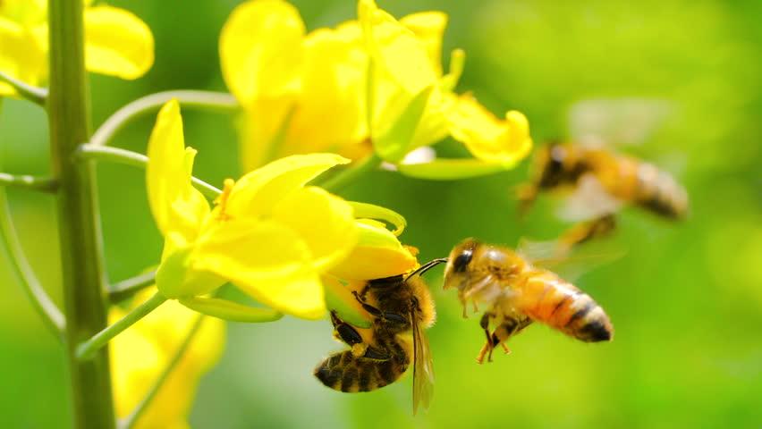 Slow motion of honeybee busy in rape seed flower in spring field   Shutterstock HD Video #1021437295