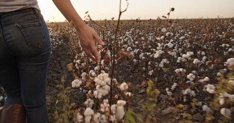 Cotton harvesting. Young indian female harvester walking down the blooming cotton field, and carrying a plate full of fiber on her head - agriculture, manual labor 4k