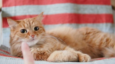 Cute ginger cat lying on chair. Fluffy pet looking with curiousity on human finger. Cozy home. Slow motion.