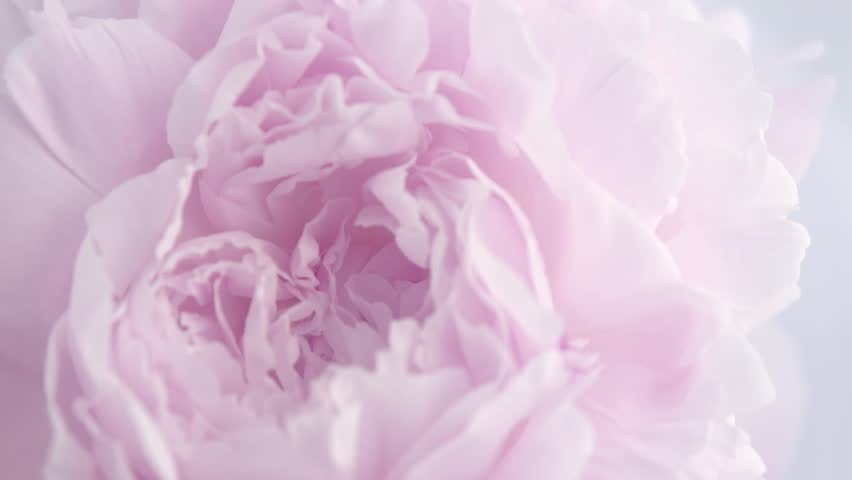 Beautiful pink Peony background. Blooming peony flower rotation, pink rose petals close-up. Wedding backdrop, Valentine's Day concept. Beauty spring romantic rose flower rotated 4K UHD video   Shutterstock HD Video #1021516081
