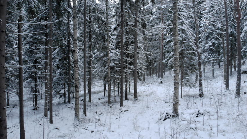 Flying among snow-covered trees in forest at winter day. Low flight in snowy spruce forest in winter.  | Shutterstock HD Video #1021530502