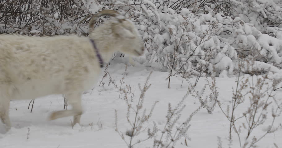 White cashmere goat walking in snow on a farm