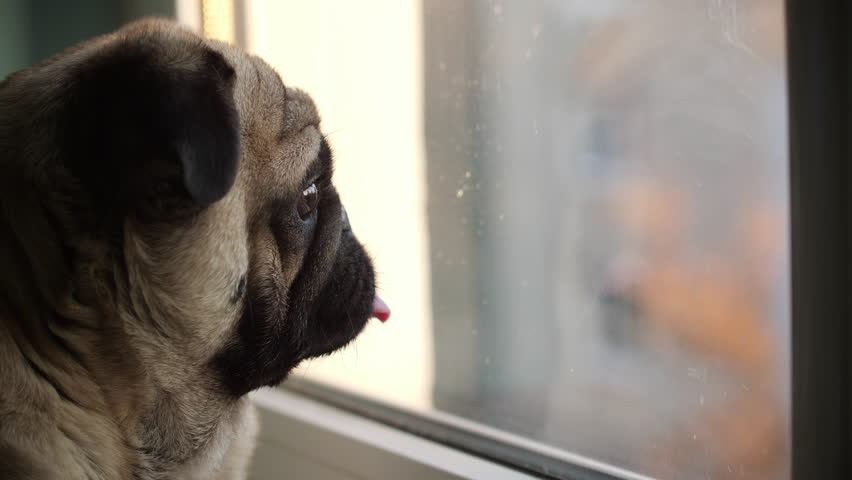 Curious Pug Dog Attentively Watching Stock Footage Video (100%  Royalty-free) 1021580449 | Shutterstock