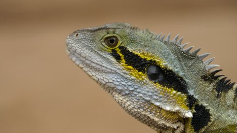 4K, Short shot of Australian water dragon (Intellagama lesueurii), perched on a trunk. The reptile shakes its head slightly as it heats up in the midday sun