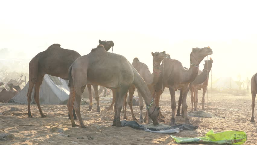 Herd camels in desert Thar during Pushkar Camel Mela near holy city Pushkar, Rajasthan, India. This fair is largest camel trading fair in the world #1021617022